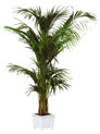 KENTIA : plante en location
