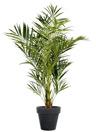 KENTIA : plante en location